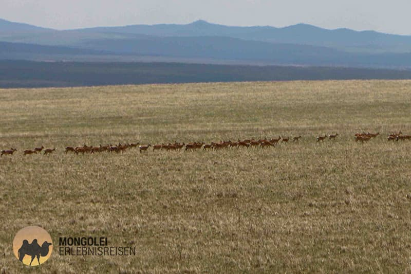 Mongolische Gazellen in der Steppe